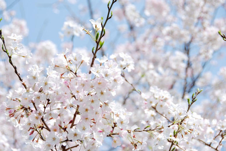 벚꽃풍경 (3)