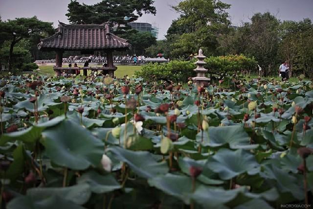 양평 세미원~두물머리, 연꽃 향기에 취하다