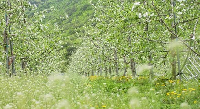 5월, 풋풋한 사과꽃 향기 널리 퍼지는 청송