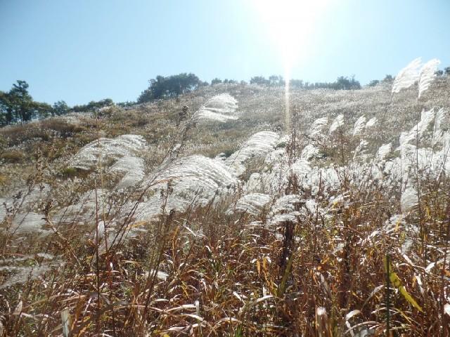 은빛 물결, 경기도 포천 명성산의 억새꽃 축제