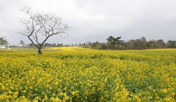 봄, 유채꽃 만발한 제주도에 반하다.