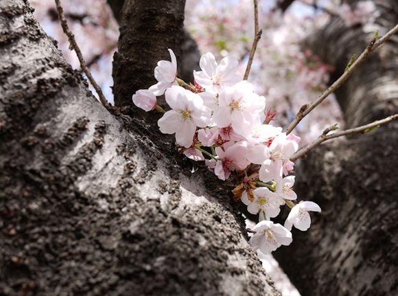 벚꽃이 흩날리던, 부산 달맞이 고개!