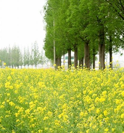 싱그러운 봄날의 담양 메타세콰이어 길!