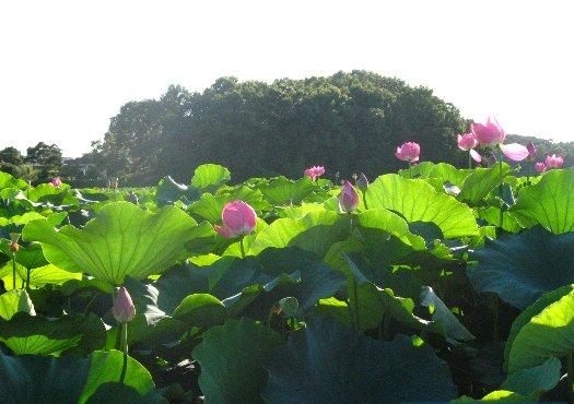 가을, 시흥에서 수줍게 핀 연꽃을 만나다