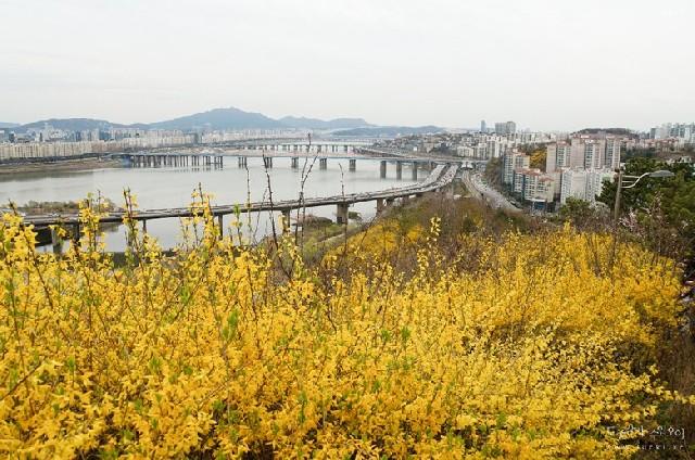 서울 꽃 나들이, 응봉산 개나리 축제 현장 스케치