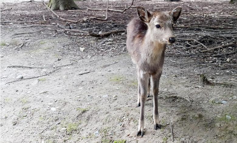 사슴이 이끄는 일본 나라 현으로