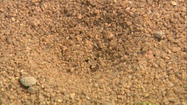 개미지옥을 만드는 명주잠자리 애벌레