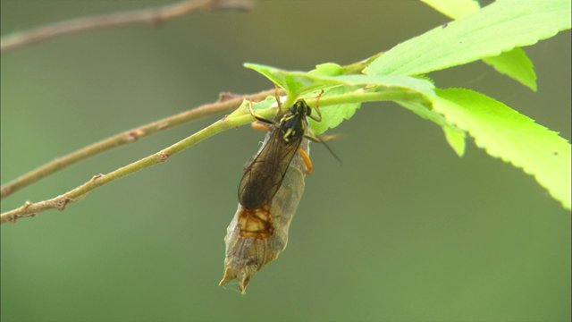 번데기에 기생해서 태어나는 맵시벌