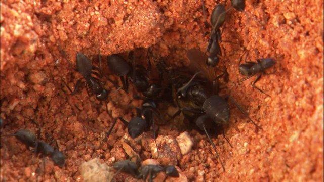 등에를 사냥중인 개미들
