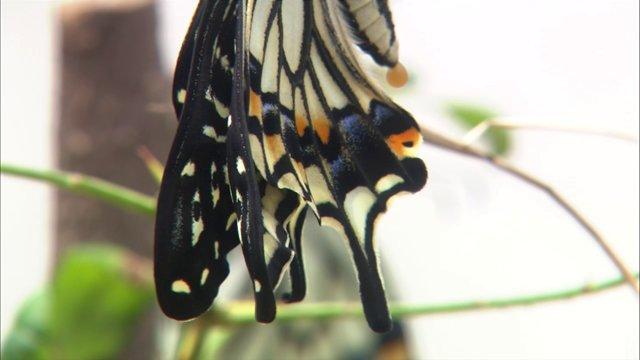 호랑나비 번데기 번은 후 날개말리기