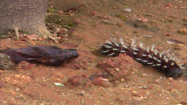 청띠신선나비 애벌레 괴롭히는 쌍살벌