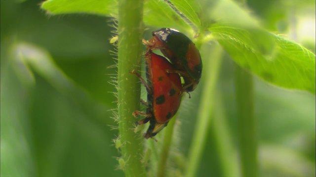 진딧물 먹으며 짝짓기하는 무당벌레