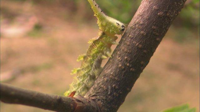 왕오색나비 애벌레