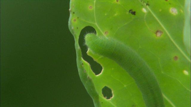 배추 흰나비 애벌레 밥먹기