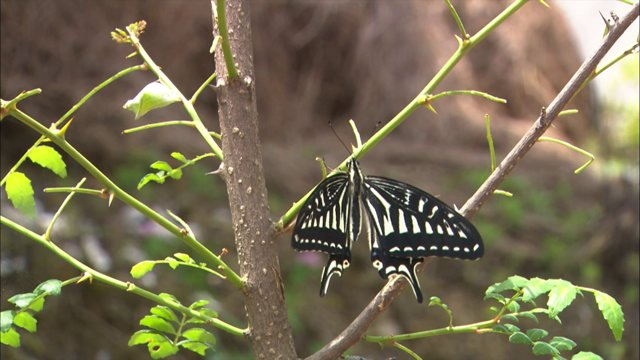 호랑나비 번데기 벗은 후 첫 날개짓