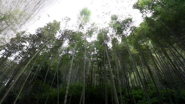 채하대협곡,대나무숲