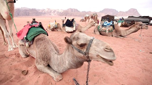 낙타,와디럼사막