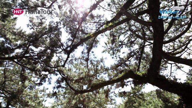 [일본] 시즈오카 일본 3대 소나무숲, 미호노마츠바라