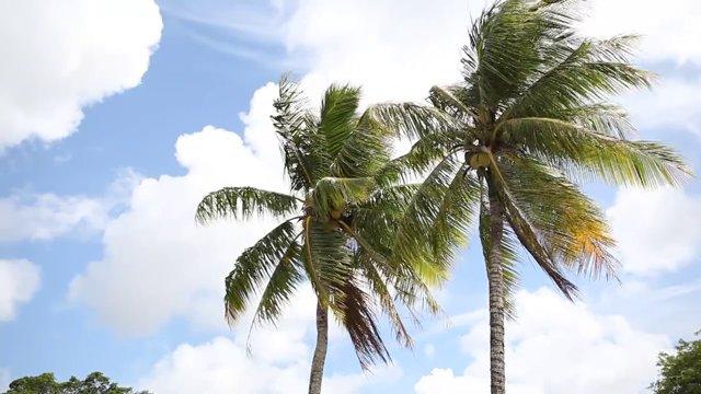 괌 야자수 나무