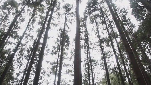 오사카 곤고산 나무01