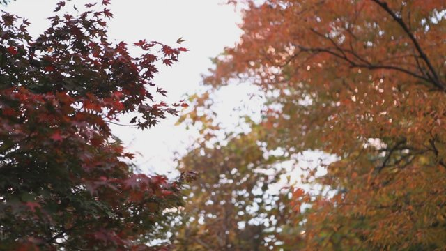 순천 고인돌공원 단풍나무