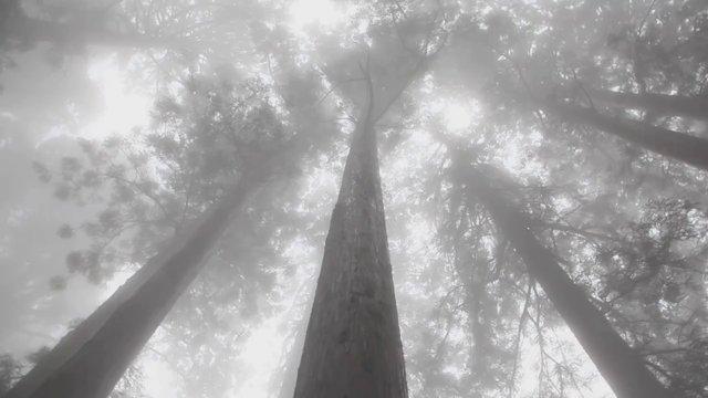 안개 낀 나무
