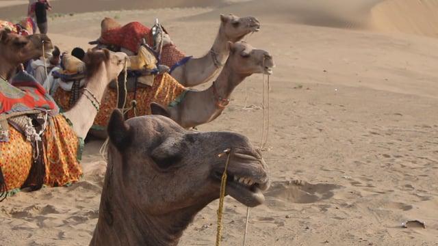 여물을 먹는 낙타